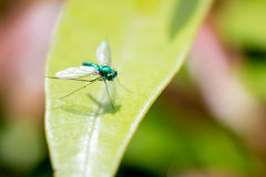Fermez-vous vers le haut de l'insecte vert sur la feuille Photographie stock libre de droits