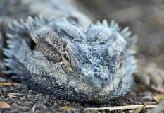 Fermez-vous vers le haut de l'instruction-macro du dragon d'eau oriental australien   Images libres de droits