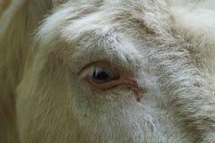 Fermez-vous vers le haut de l'oeil d'âne Photo libre de droits