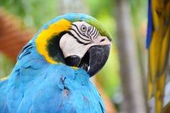 Fermez-vous vers le haut de l'oiseau bleu et jaune d'ara Images stock