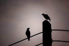 Fermez-vous vers le haut de l'oiseau de couples de la silhouette deux été perché sur le poteau électrique Photo libre de droits