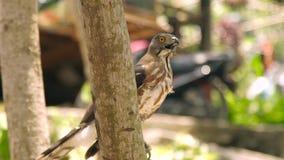 Fermez-vous vers le haut de l'oiseau du faucon de proie avec la bouche ouverte sur la branche d'arbre Oiseau prédateur en nature  banque de vidéos