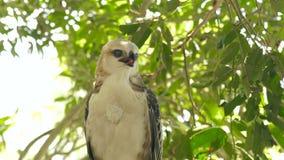 Fermez-vous vers le haut de l'oiseau de faucon de l'aigle de serpent de proie sur la branche d'arbre et les feuilles de vert amén clips vidéos