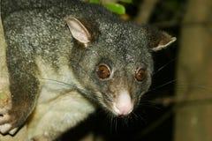 Fermez-vous vers le haut de l'opossum Images libres de droits
