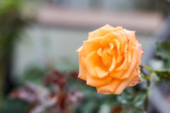 Fermez-vous vers le haut de l'orange s'est levé fleurissant dans le Saint Valentin de jardin Photographie stock