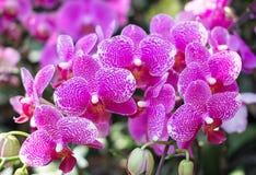 Fermez-vous vers le haut de l'orchidée pourprée Photos stock