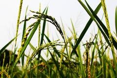 Fermez-vous vers le haut de l'oreille du paddy ou des oreilles du riz thaïlandais de jasmin sur la vue verte dans la soirée Photographie stock
