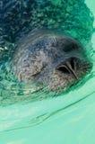 Fermez-vous vers le haut de l'otarie dans l'océan Photographie stock libre de droits