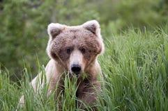 Fermez-vous vers le haut de l'ours de Brown mangeant l'herbe Image stock