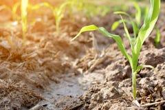 Fermez-vous vers le haut de l'usine de maïs vert photo libre de droits