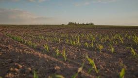 Fermez-vous vers le haut de l'usine de maïs vert sur le jardin avec le coucher du soleil sélectif et doux de lumière du soleil de banque de vidéos