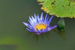 Fermez-vous vers le haut de la belle fleur pourpre de nénuphar de lotus sur l'eau photos libres de droits