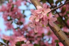 Fermez-vous vers le haut de la branche de fleurs de cerisier Images stock