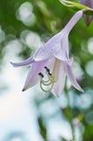 Fermez-vous vers le haut de la cloche violette de fleur Photo libre de droits
