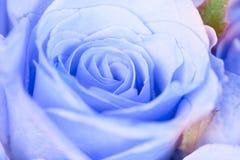 fermez-vous vers le haut de la Co de fleur, fraîche et romane rose bleu-clair douce photo libre de droits