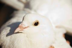Fermez-vous vers le haut de la colombe blanche Image libre de droits