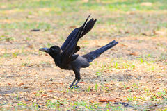 Fermez-vous vers le haut de la corneille noire d'oiseaux étant perché sur le champ photos stock
