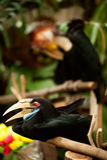 Fermez-vous vers le haut de la femelle du calao Wreathed dans le zoo Image stock