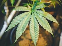 Fermez-vous vers le haut de la feuille de marijuana s'élevant sur l'usine d'intérieur de cannabis Photo libre de droits