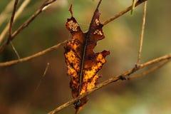 Fermez-vous vers le haut de la feuille mangée par insecte Images libres de droits
