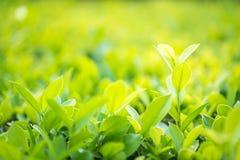 Fermez-vous vers le haut de la feuille verte dans la plantation Photographie stock libre de droits