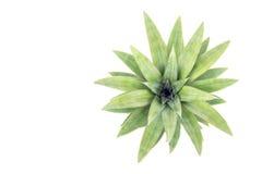 Fermez-vous vers le haut de la feuille verte de l'ananas d'isolement sur le blanc Image libre de droits