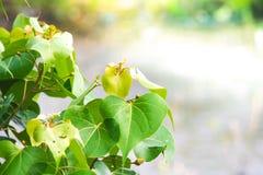 Fermez-vous vers le haut de la feuille verte sur le fond trouble de bokeh d'arbre dans le jardin de la feuille de forêt dans un d Photos stock