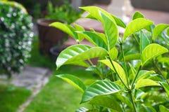 Fermez-vous vers le haut de la feuille verte sur le fond trouble de bokeh d'arbre dans le jardin feuille dans un domaine avec des Photo stock