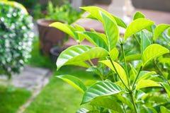 Fermez-vous vers le haut de la feuille verte sur le fond trouble de bokeh d'arbre dans le jardin feuille dans un domaine avec des Images stock
