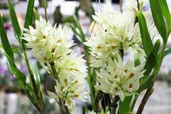 Fermez-vous vers le haut de la fleur blanche d'orchidées Image libre de droits