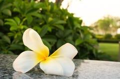 Fermez-vous vers le haut de la fleur blanche de frangipani photo libre de droits