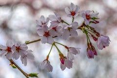 Fermez-vous vers le haut de la fleur de cerise Image stock