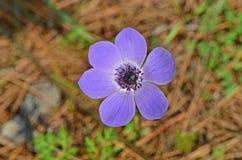 Fermez-vous vers le haut de la fleur d'anémone Photo stock