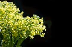 Fermez-vous vers le haut de la fleur de brocoli Photos stock