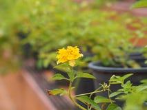 Fermez-vous vers le haut de la fleur de lantana Images stock