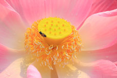 Fermez-vous vers le haut de la fleur de lotus rose Photo libre de droits