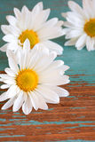 Fermez-vous vers le haut de la fleur de marguerite Image stock