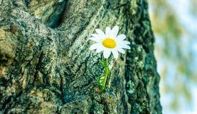 Fermez-vous vers le haut de la fleur de marguerite Photo stock
