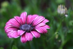 Fermez-vous vers le haut de la fleur de marguerite africaine (eck d'Osteospermum Photographie stock libre de droits