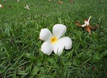 Fermez-vous vers le haut de la fleur de Plumeria Images libres de droits