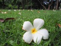 Fermez-vous vers le haut de la fleur de Plumeria Image stock