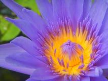 Fermez-vous vers le haut de la fleur de pourpre de Lotus Image stock