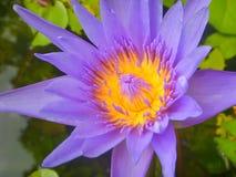 Fermez-vous vers le haut de la fleur de pourpre de Lotus Photographie stock libre de droits