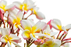 Fermez-vous vers le haut de la fleur de thom de LAN sur le blanc Images stock