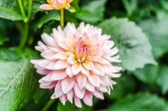 Fermez-vous vers le haut de la fleur hybride de dahlia orange avec le fond brouillé Image stock