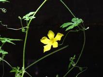 Fermez-vous vers le haut de la fleur jaune de courgette sur le fond noir photos libres de droits