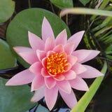 Fermez-vous vers le haut de la fleur de lotus rose Photographie stock
