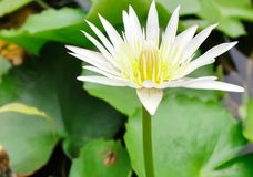 Fermez-vous vers le haut de la fleur ou du nénuphar de lotus blanc avec des feuilles de vert sur l'eau images stock