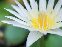 Fermez-vous vers le haut de la fleur ou du nénuphar de lotus blanc avec des feuilles de vert sur l'eau photo libre de droits