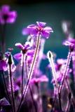 Fermez-vous vers le haut de la fleur pourprée Photos libres de droits